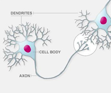 Healthy nerve cells: Each nerve cell can communicate with several other nerve cells via dendrites.
