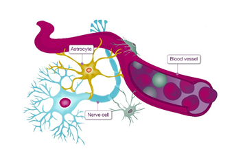 nerve-cell-function