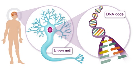 An illustration showing DNA within a nerve cell inside the brain