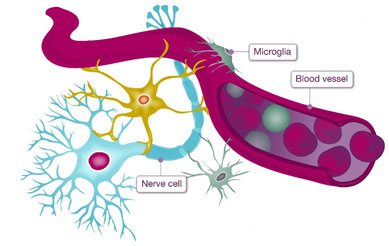 Microglia are the brain's immune response cells.