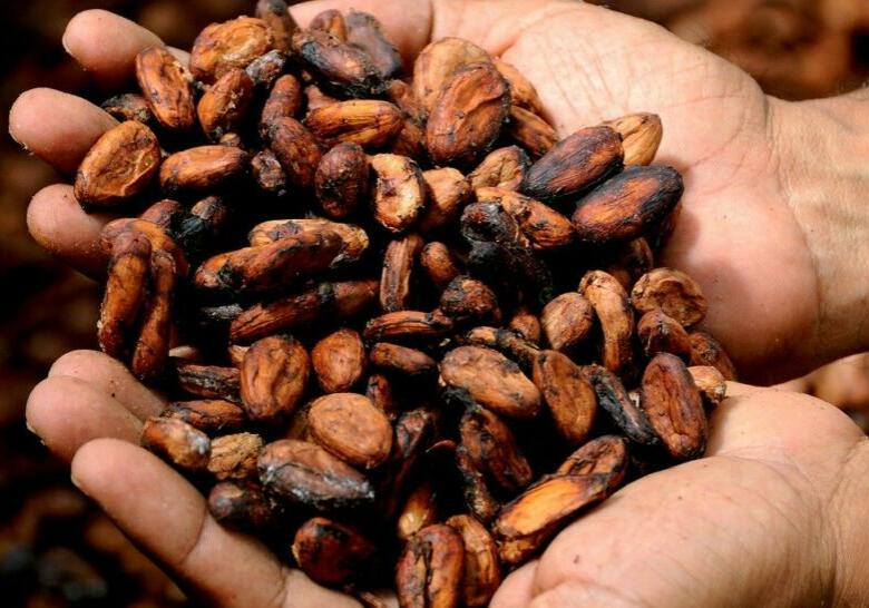 Hands cocoa beans
